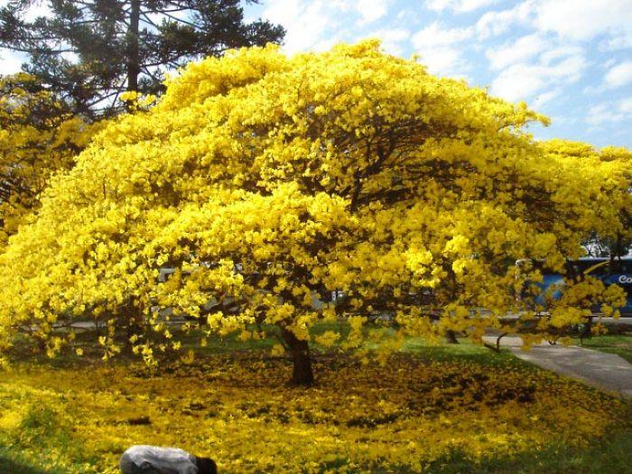 Bairro Jardim Botânico_ Ipê Amarelo na Floração